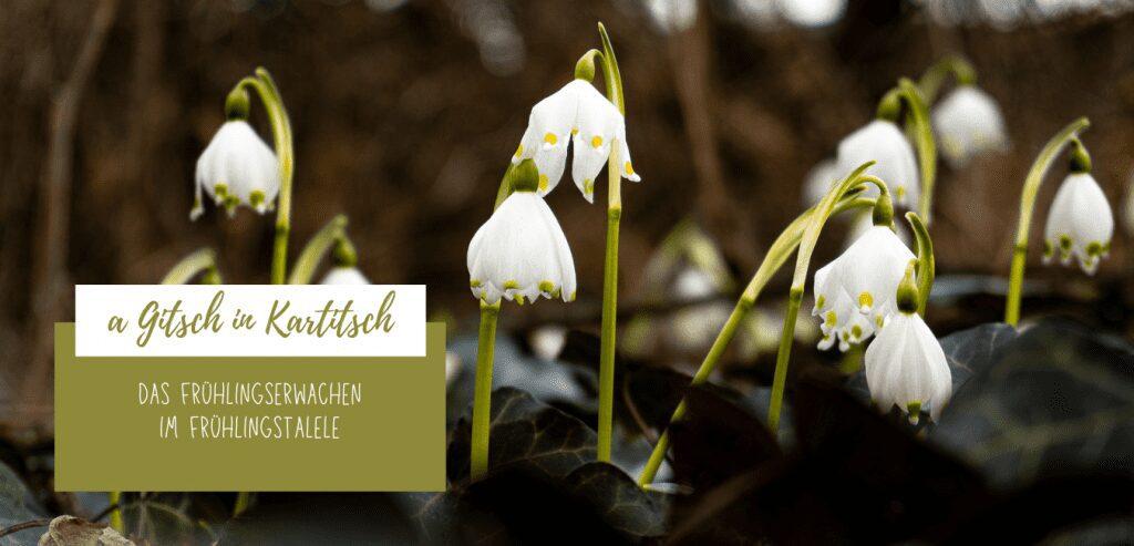 a Gitsch in Kartitsch - Frühlingserwachen im Frühlingstalele